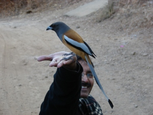 A friendly treepie