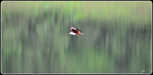 Brahminy Kite in action
