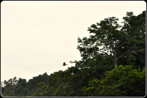 Great Malabar Hornbill in flight