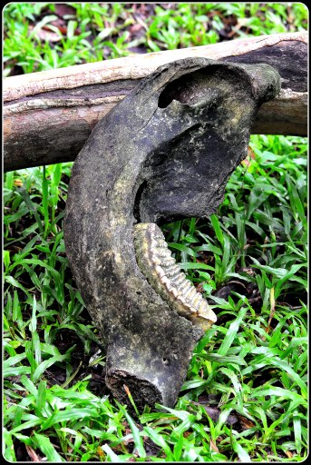 Elephant tooth